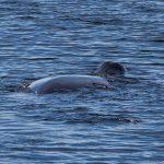 Bowhead whale. Photo: Maryke de Boer