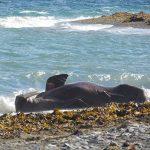 Atlantic walrus. Photo: Ali Liddle