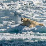 Polarbear. Photo: Jeffry van Berkum