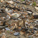 Arctic Fox. Photo: Sonja Vliegenthart