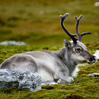 Svalbard reindeer. Photo: Kay Reimer