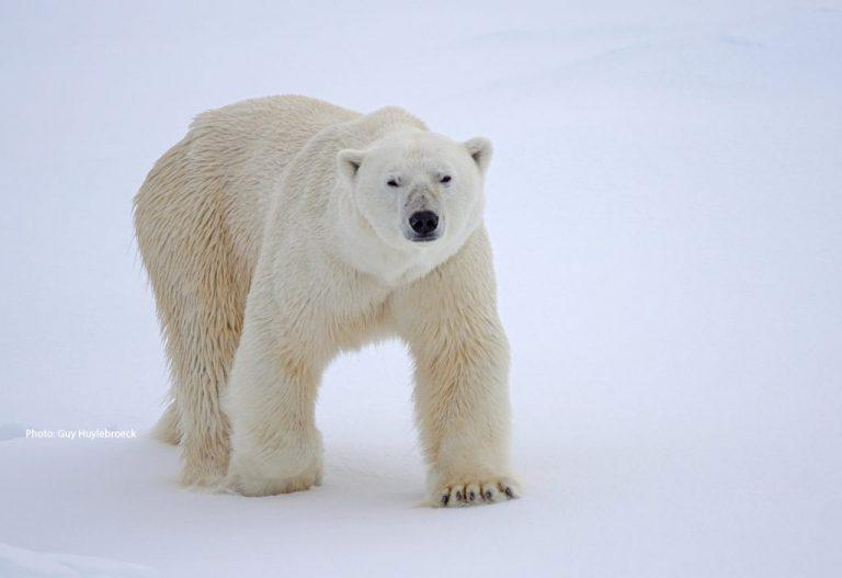 Polar-bear-male-Photo-by-Guy-Huylebroeck-May-2018