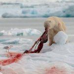 © Jeffry van Berkum, Polar Bear, June, 2018