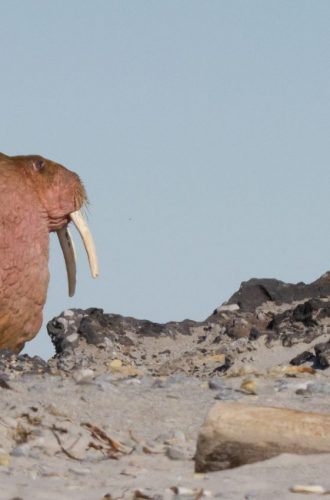 2 Atlantic walrus. Photo by Marc Lucas Jun 2017