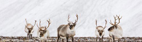 Svalbard reindeer. Photo ba Alexander Lembke Sep 2018