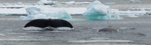 Hans Verdaat, Grönlandwal, Packeis vor Ostgrönland während der Nordatlantischen Odyssee mit Inezia Tours, 22. Mai 2019